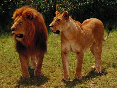 Lion_pair.jpg