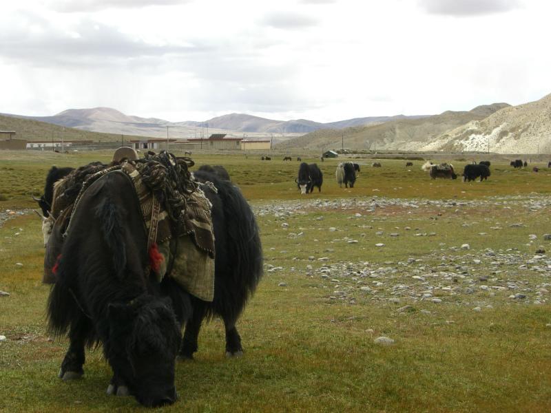 西チベット20