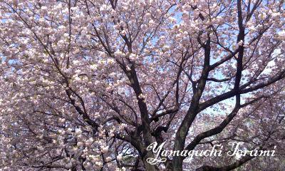 20120418_1桜