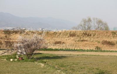 さくらの日の桜