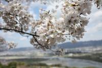 百合山の桜