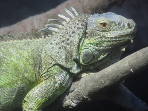 iguanaPB230377.jpg