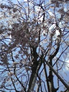 120405桜