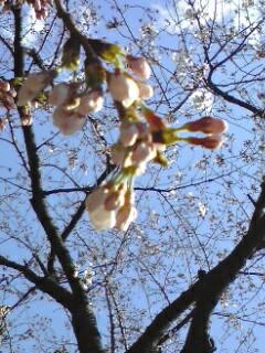 120405桜2