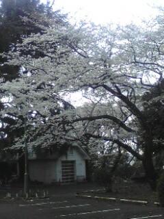 120406山手の桜