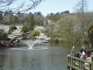 120409井の頭公園の桜2