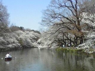 120409井の頭公園の桜1