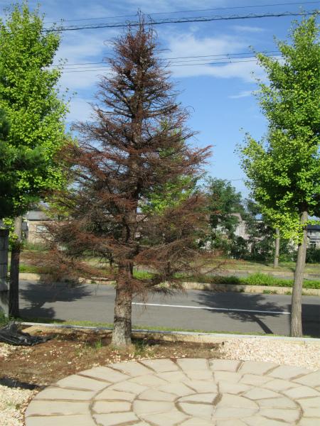 ブログ枯れたモミの木