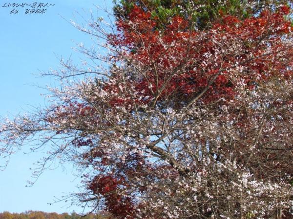 0877紅葉と四季桜131124