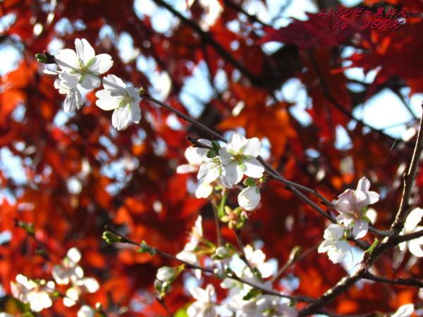 0891四季桜と紅葉131124