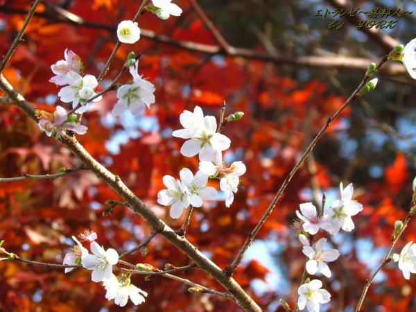 0878四季桜と紅葉131124