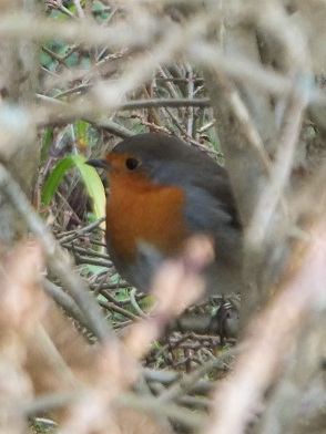 10Jan12robin.jpg