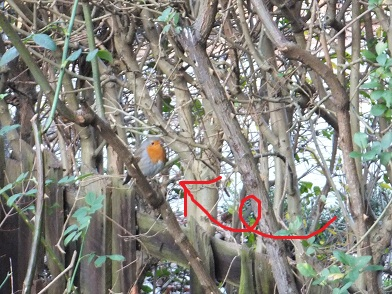 15Jan12robin1.jpg