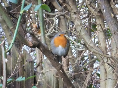 15Jan12robin2.jpg
