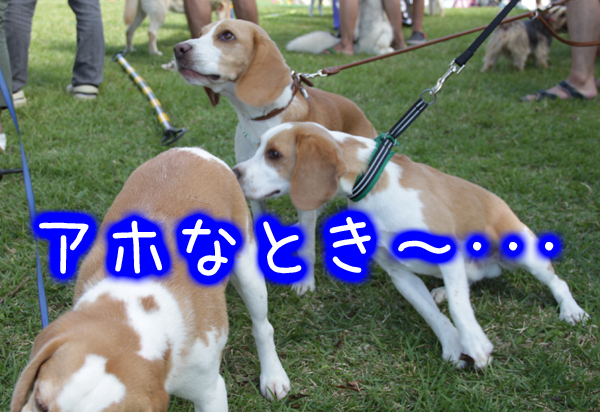 0923レモンビーグル モク 箱根2