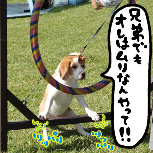 0923レモンビーグル モク 箱根6