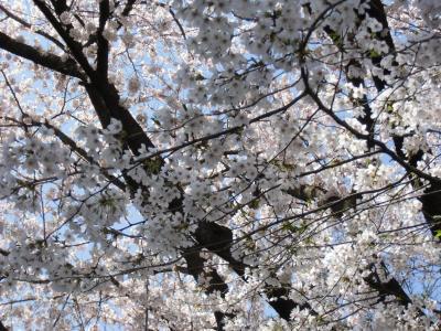 blog_sakura_f2_convert_20120413233950.jpg