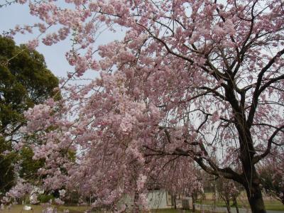 blog_sakura_hy1_convert_20120413234045.jpg