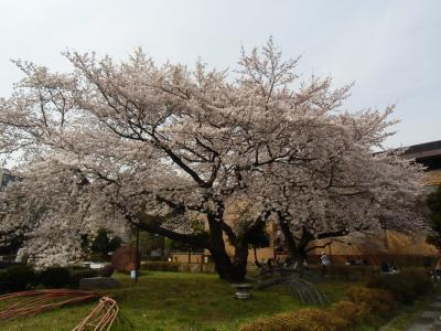 blog_sakura_hy3_convert_20120413234227.jpg