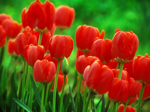 Tulip_flower_bulbs.jpg