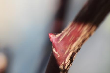 ガブリエルの赤芽