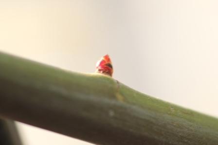 キモッコウの筍
