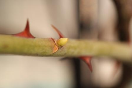 ナニワイバラの筍