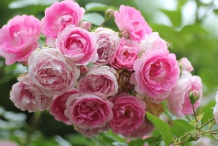 ジャスミーナ房咲き