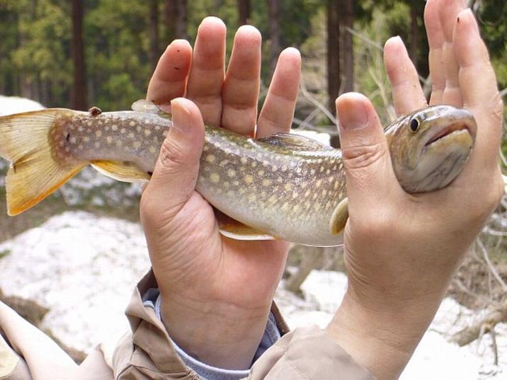 白布の岩魚