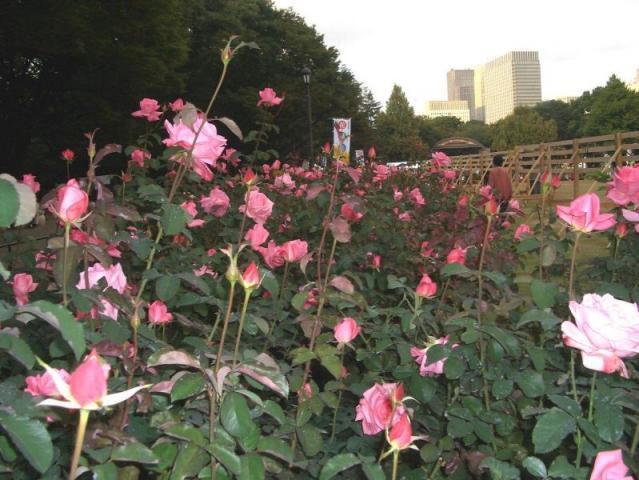 日比谷の薔薇族
