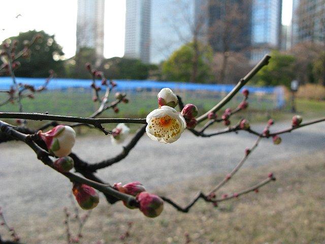 2008.01.19 浜離宮 梅開花
