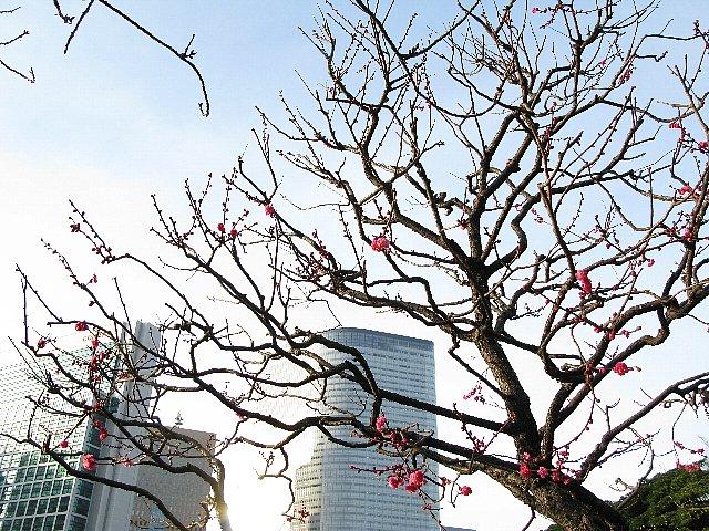 2008.01 浜離宮 紅梅