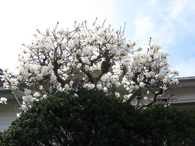 隣の庭 木蓮