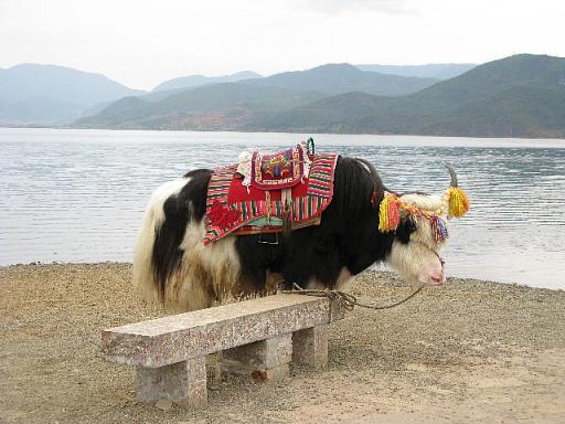 濾沽湖畔 ヤク