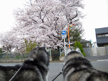 近所の巨大桜