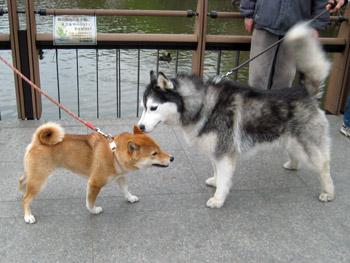 ポトフと柴犬ちゃん