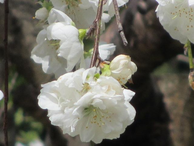 竹林院群芳園~花矢倉展望台(しだれ桃)3