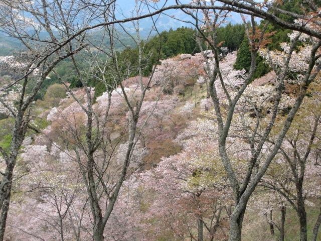 上千本の桜7