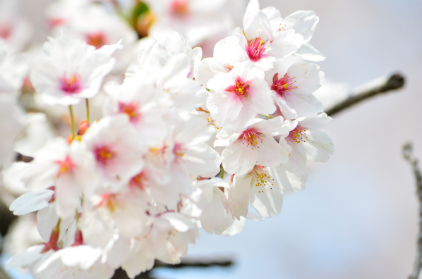 高崎の桜たち