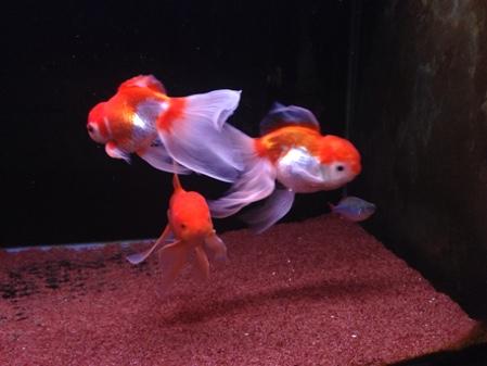 金魚水槽♪