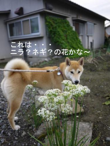 散歩道のお花3