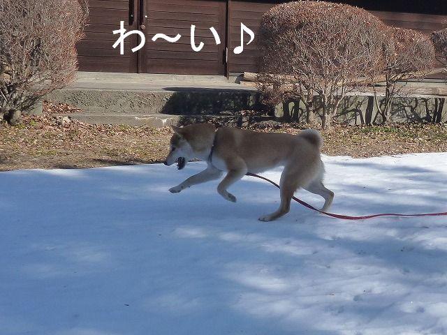 残雪と靴下で遊ぶさくら