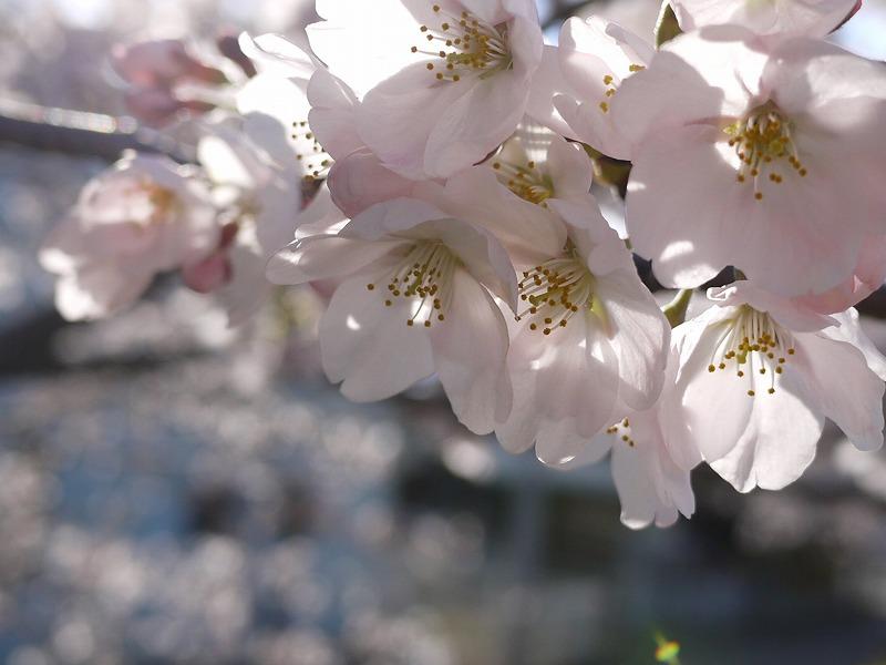 桜とさくらとお友達♪
