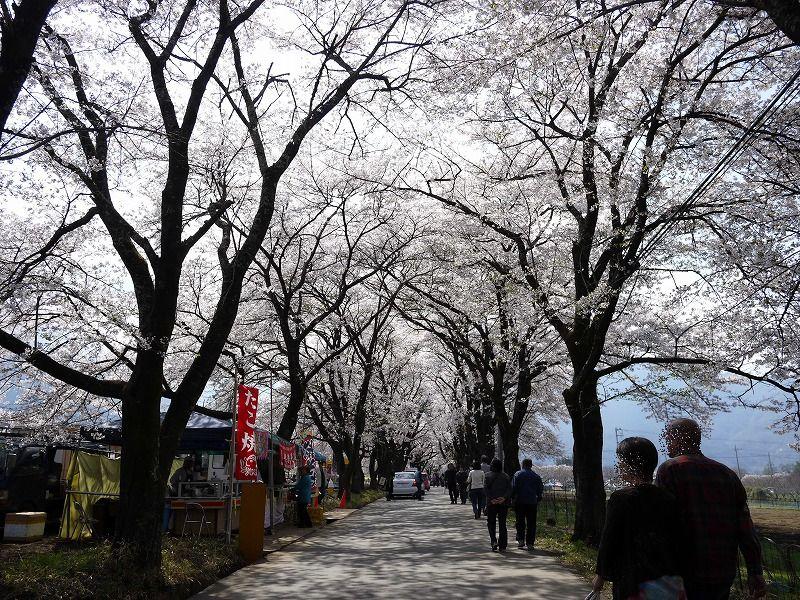 眞原(さねはら)桜並木