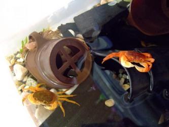 沢蟹さん!C棟オス~キレイな色なのに・・・死んでいます><その他2匹狙ってる・・・2011.09.22