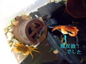 沢蟹~死んでしまったと思っていたら!なんと~脱皮殻でした!ワ~イ!抜け殻!2011.09.22