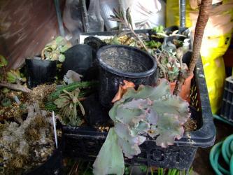 2011台風15号逆さ落下した多肉達~ぐちゃぐちゃです><とりあえず鉢に戻し後で植え替えやすいように整理
