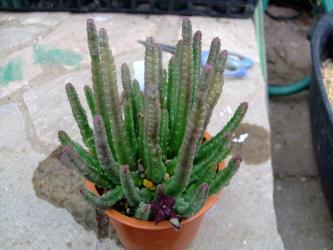 スタペリア  スキチュラ(Stapelia scitula)全体像はこんな感じ~12cm径鉢植えw2011.09.27