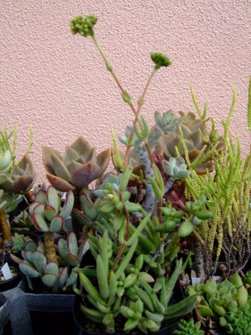 クラッスラ 銀箭ギンゾロエ (Crassula mesembrianthoides)チョット長葉タイプ~地味な花芽付き2011.09.28