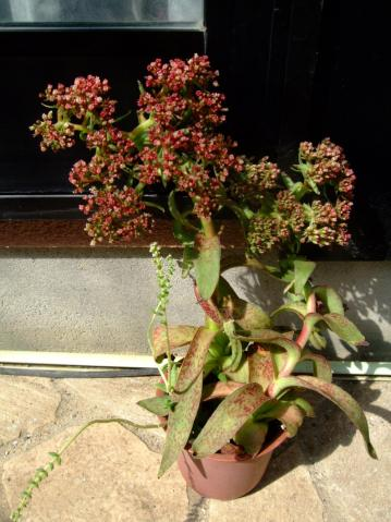 クラッスラ アルバ(Crassula alba)2011.09.28~まだ全開花ではないみたい!早く咲いて